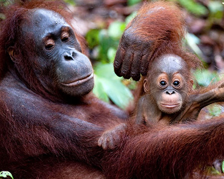 Born to be Wild 3D image of Orangutan, mother and child