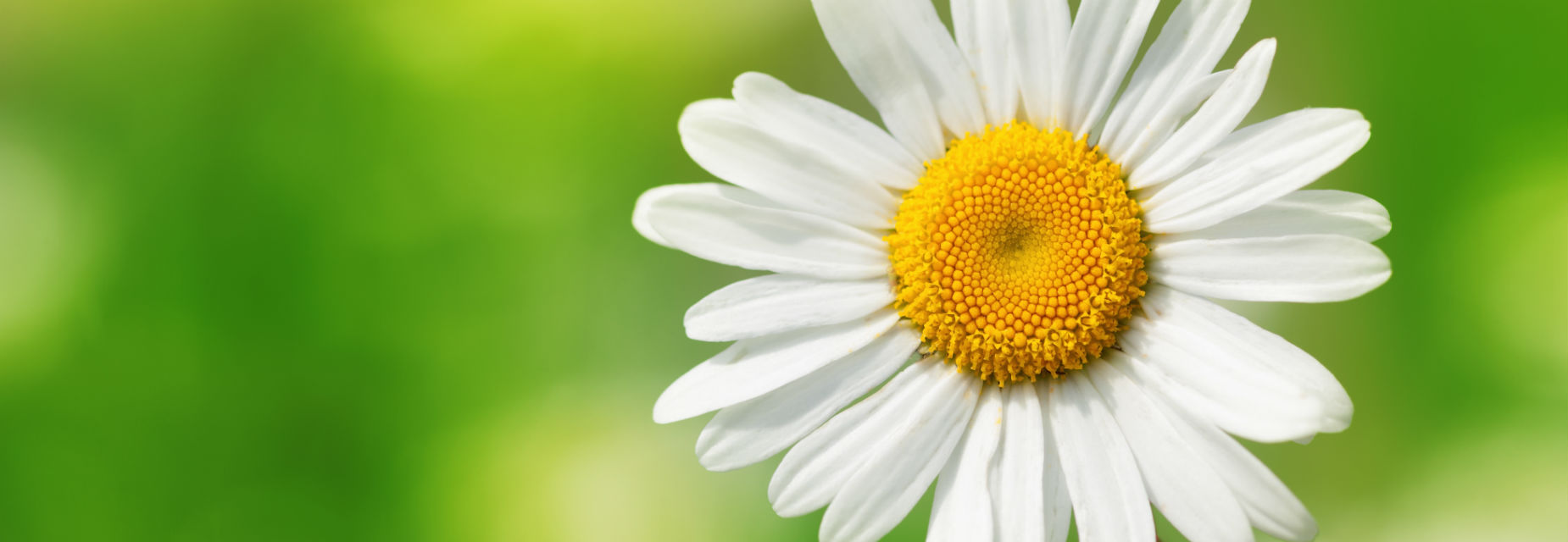 Close up of a daisy on a green background