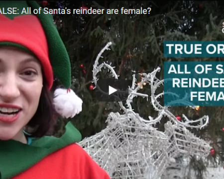 Glasgow Science asked the public whether they think it is TRUE or FALSE that all of Santa's reindeer are female. The majority of the public voted FALSE, however it is in fact TRUE - all of Santa's reindeer are female, as male reindeer shed their antlers in winter!