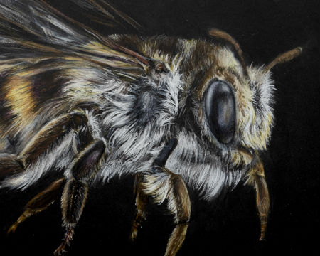 A drawing of a bee by artist, Kelly Stanford